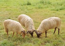 Drents heather sheep Royalty Free Stock Images