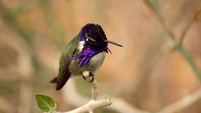 Dress To Impress. A closeup of a male hummingbird resting on a branch Royalty Free Stock Images