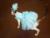 Dress up. Cornish Rex cat wearing blue dress and hat royalty free stock photo