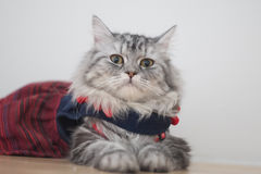 Dress your beautiful cats. In the house Royalty Free Stock Image