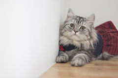 Dress your beautiful cats. In the house Stock Images