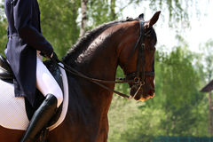 dressage Royaltyfri Bild