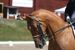 dressage Royaltyfria Bilder