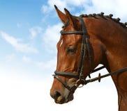 Dressage. Bay horse: dressage - equestrian sport royalty free stock image