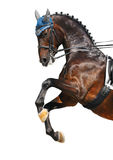 Dressage: bay Hanoverian horse. Rear Royalty Free Stock Image