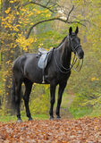 Dressage black horse in wood. Dressage black horse in autumn wood Royalty Free Stock Photography