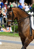 Dressage with brown horse royalty free stock photo