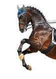 Dressage: cavallo di Hanoverian della baia Immagine Stock Libera da Diritti