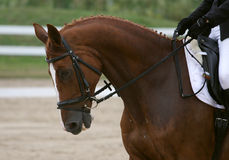 Dressage chestnut horse. In snaffle, with braids and rider's hands royalty free stock image
