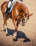 Dressage czerwony koński portret podczas dressage rywalizaci Zdjęcie Stock