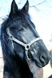 dressage freisan konia zdjęcia stock