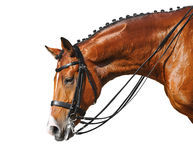 Dressage: head of bay stallion Stock Images