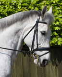 Dressage head close-up Stock Photo