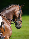 Dressage Head Shot Stock Photography