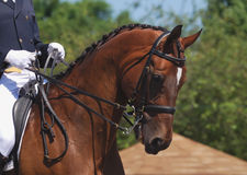 Dressage horse. Portrait of beautiful dressage horse in motion royalty free stock photos