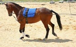 Dressage Horse. Photograph of a walking dressage horse led using long reins Stock Photo