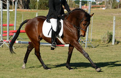 Show jumping horse. A beautiful elegant dark bay sports horse with rider in show jumping and dressage training in the arena Stock Images