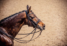 Dressage horse. Brown chestnut horse portrait during dressage competition. Stock Image