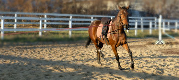 Dressage horse. Brown on nature background manege Stock Image