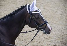 Dressage horse head. Black horse portrait during dressage competition. Stock Photography