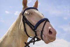 Dressage horse head. Cream horse portrait during dressage competition. stock images