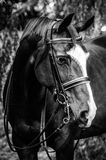 Dressage horse headshot Royalty Free Stock Image