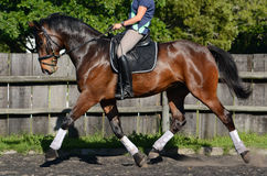 Dressage Hanoverian horse Stock Photos