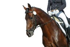 Dressage horse. Portrait of bay dressage horse on white background royalty free stock photo