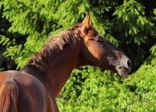 Dressage horse portrait in outdoor. Dressage sport horse portrait in outdoor royalty free stock photo