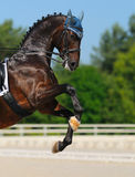 Dressage: horse rear. Dressage: bay Hanoverian horse rear Stock Images