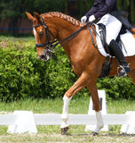 Dressage horse Royalty Free Stock Photo