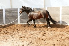 Dressage horse in round arenas with rope Stock Photography
