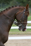 Dressage horse's head. And neck with braids and in full bridle stock photo