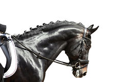Dressage horse before the start of competition isolated on white Stock Photo
