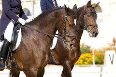 Dressage horses Royalty Free Stock Images