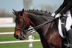 Dressage horses. On the hippodrome stock image