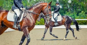 Dressage horses and riders. Sorrel horses portrait during equestrian sport competition. Advanced dressage test. Copy space for your text stock photo