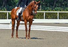 Dressage jeździec koń i obrazy stock