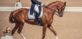 Dressage jeździec koń i Brown cisawy koński portret podczas dressage rywalizaci Fotografia Stock