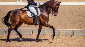 Dressage jeździec koń i Brown cisawy koński portret podczas dressage rywalizaci Zdjęcie Stock