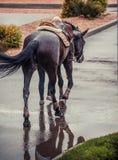 Dressage jeździec koń i Czarny koński portret po dressage rywalizaci Obrazy Royalty Free