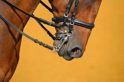 Dressage - museruola del cavallo Immagine Stock Libera da Diritti