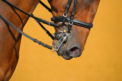 Dressage - muzzle of horse. Muzzle of bay horse on gold background Royalty Free Stock Image