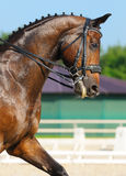 Dressage: portrait of bay horse. On nature background Stock Images