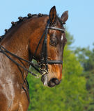 Dressage: portrait of bay horse. On nature background Royalty Free Stock Photo