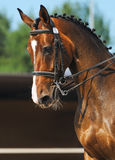 Dressage: portrait of bay horse. On nature background Stock Photography