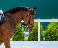 Dressage: portrait of bay horse on nature background. Close up of the head of a bay dressage horse with bridle and check-rein or martingale Stock Photos