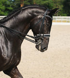 Dressage: portrait of black horse. On nature background Stock Image