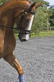 Dressage portrait of chestnut horse Royalty Free Stock Photo