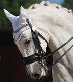 Dressage: Portrait des grauen Pferds Stockbild